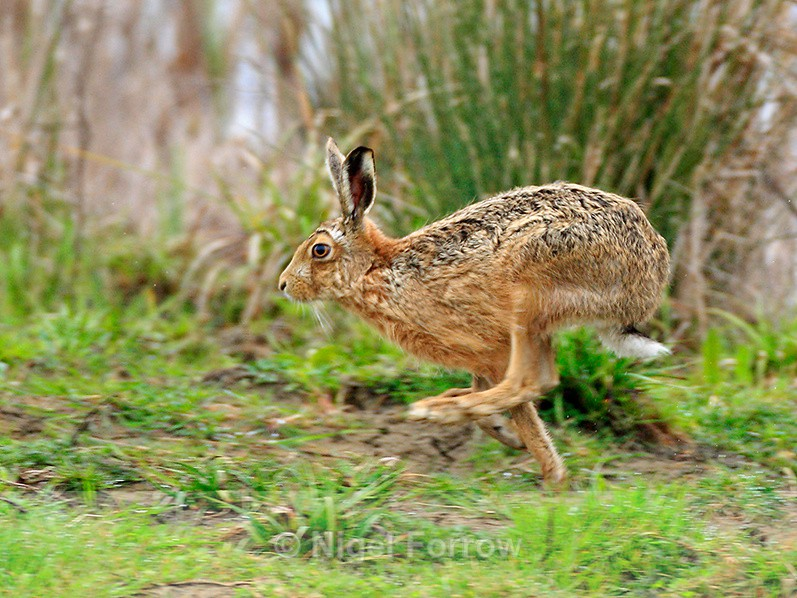 Brown Hare running on Big Otmoor - Hare