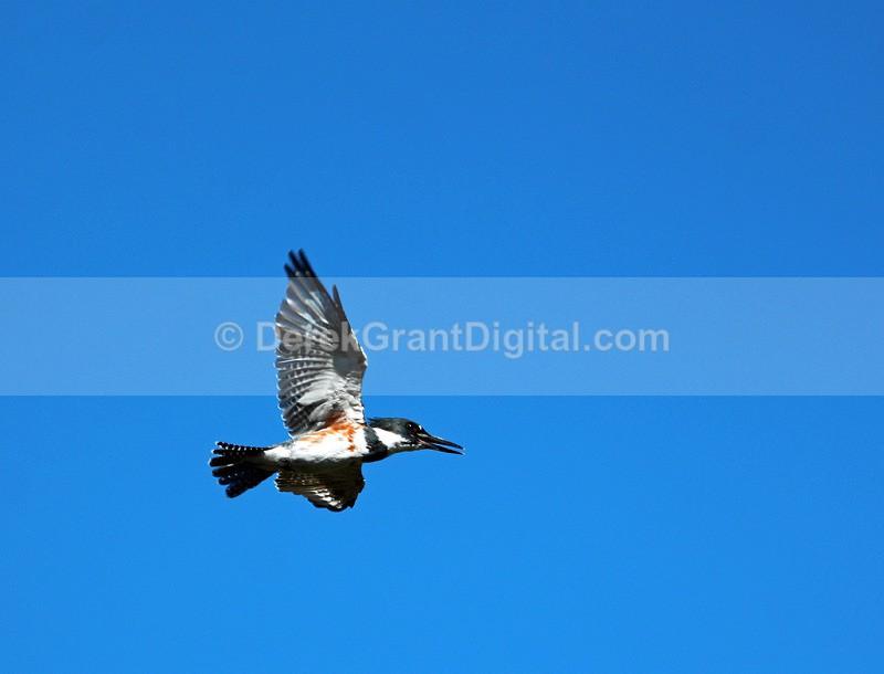 Belted Kingfisher in Flight - Birds of Atlantic Canada