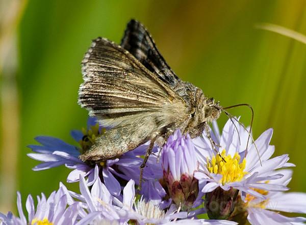 Silver Y moth, Kessingland, Suffolk - Butterflies and Moths
