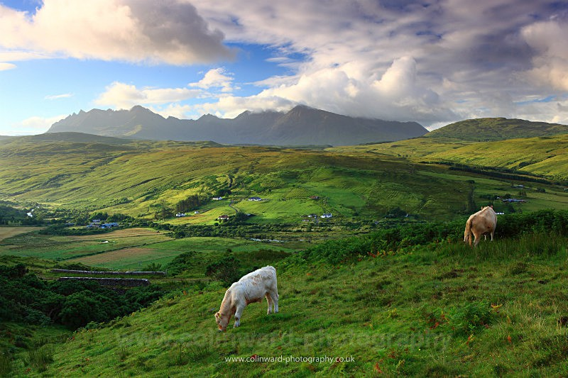 Cattle grazing in the hills near Drynoch, Skye.    ref 6340 - West Highlands
