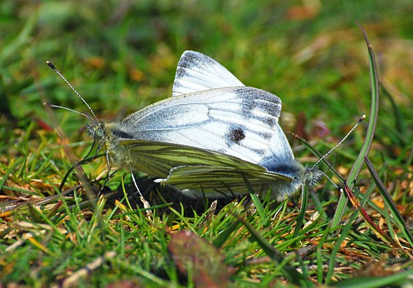Mating Green Veined Whites, Dawlish Warren NNR - Butterflies and Moths