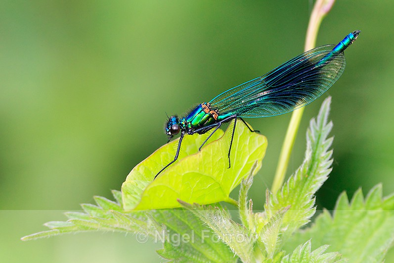 Banded Demoiselle (male) at Stour Valley LNR - INSECTS