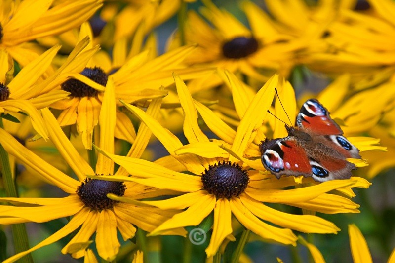 Rudbeckia and butterfly - FLOWERS