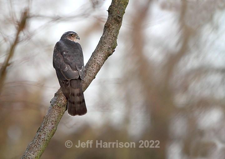 Sparrowhawk (image Sparh 04) - Sparrowhawks