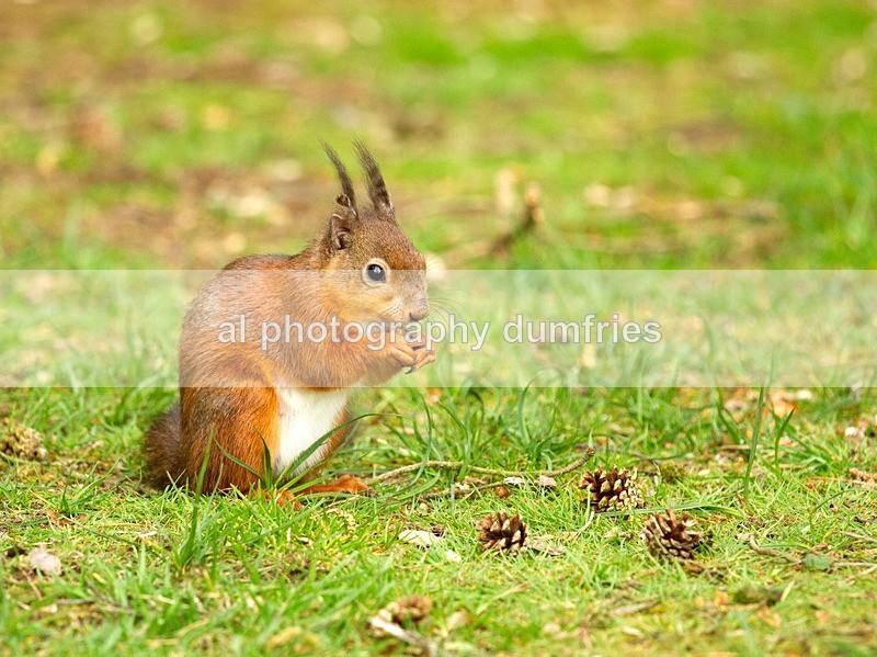 Red Squirrel (disambiguation). - Eskrigg Nature Reserve Lockerbie