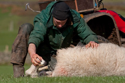 10 - The Lambing