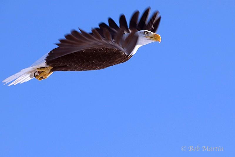 Eagle - Critters
