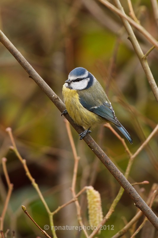 Blue Tit - Cyanistes Caeruleus RPNP0657 - Birds