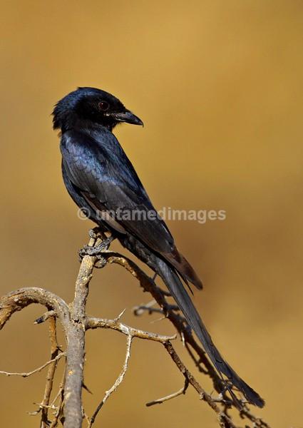 Black Drongo - India