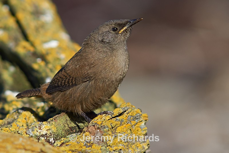 Cobb's Wren - Sea Lion Island