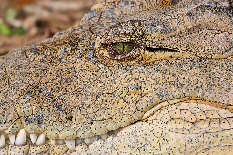 Close-up of Nile Crocodile head - REPTILES & AMPHIBIANS