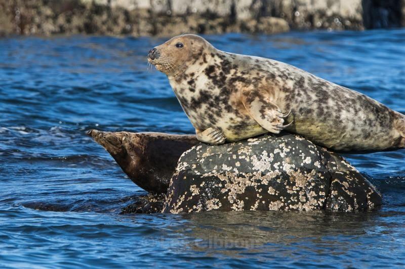 Farne Island seals - Northumberland
