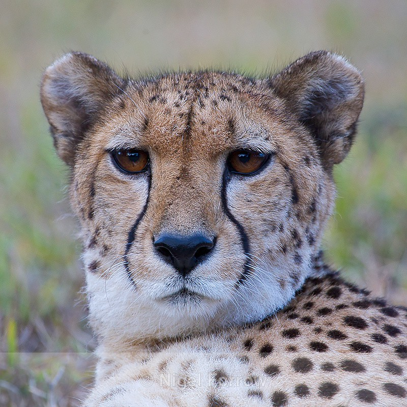 Cheetah close-up - Cheetah