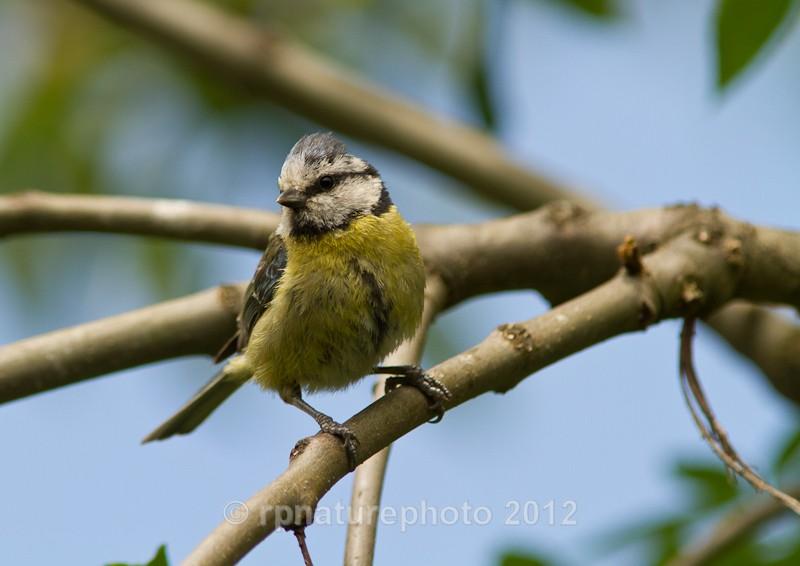 Blue Tit -Cyanistes caeruleus RPNP0101 - Birds