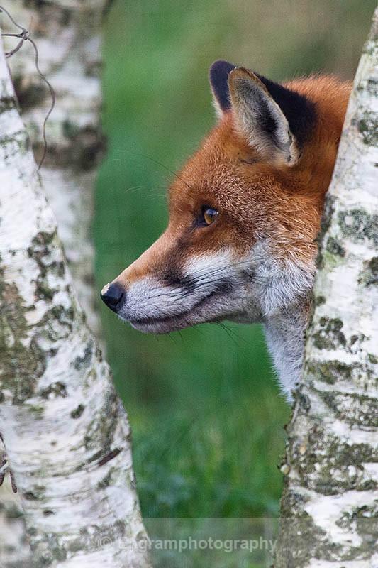 Fox in the Birch Wood-R2732 - Animals (Fauna)