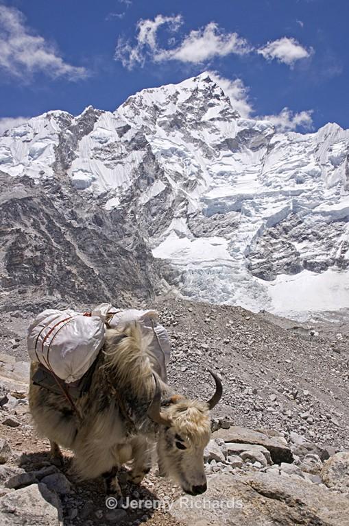 Yak Carrying Baggage - Nepal