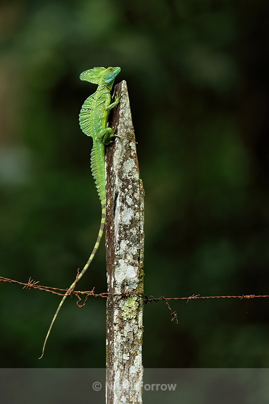 Plumed Basilisk on fence post, Sarapiqui River, Costa Rica - REPTILES & AMPHIBIANS