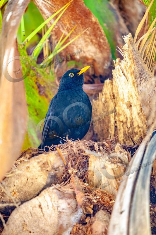 Blackbird Turdus merula-6573 - UK birds