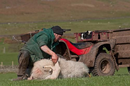 11 - The Lambing