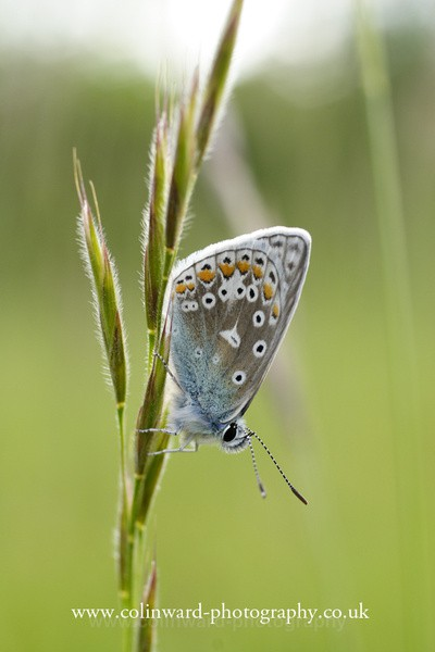 Common Blue Butterfly  Ref 5190 - Close up images