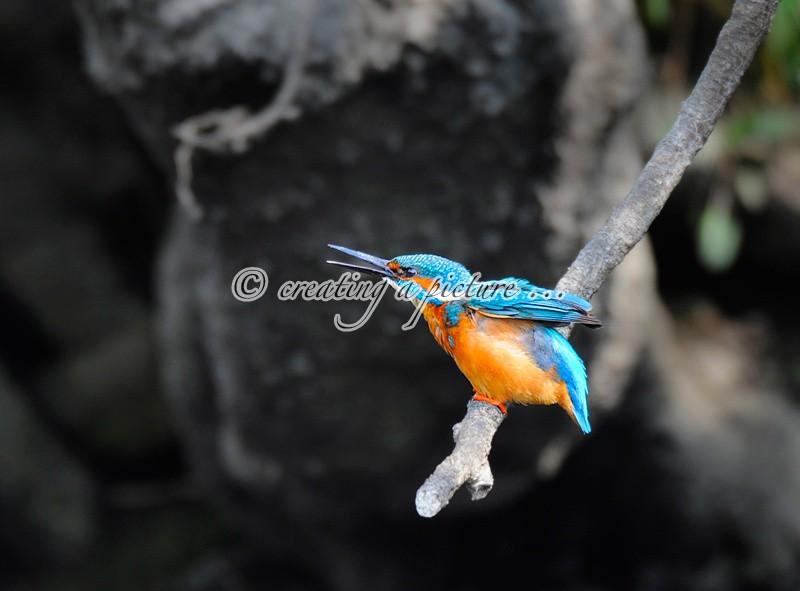 Kingfisher Calling - Nature