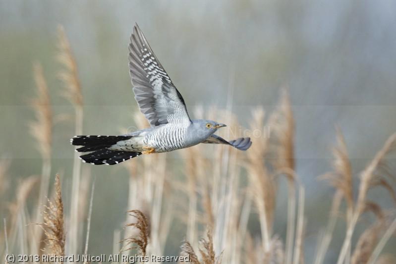Cuckoo (Cuculus canorus) flying - Cuckoo (Cuculus canorus)