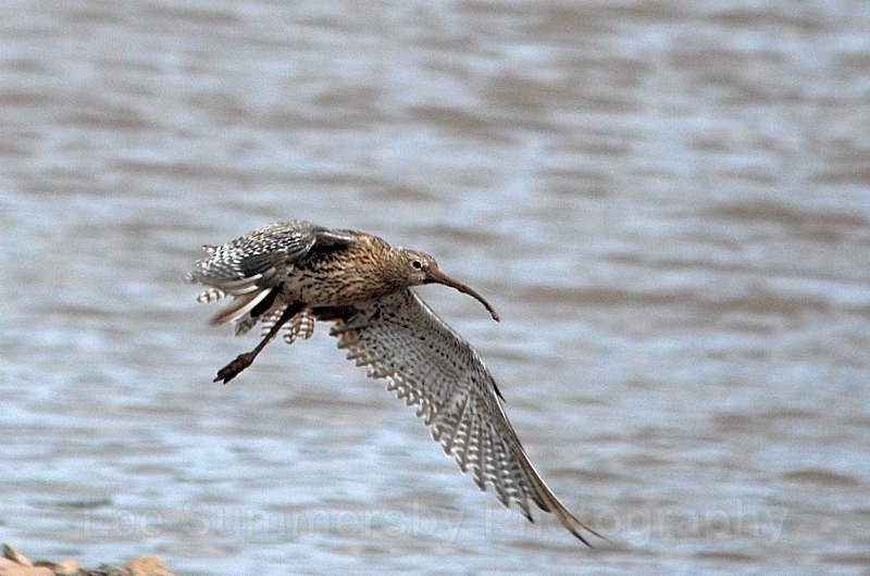 Curlew in flight, Bowling Green Marsh, River Exe, Topsham - Birds