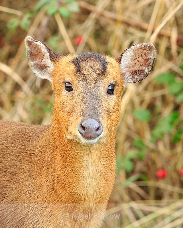 Muntjac Deer close-up, Otmoor RSPB - Deer