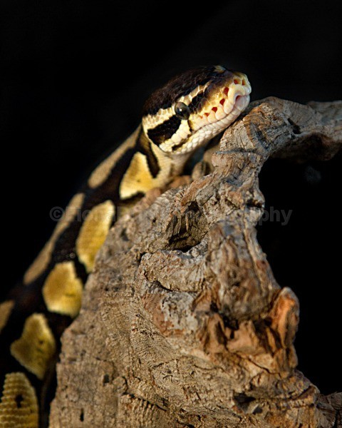 snakes-234 - Reptile Photography