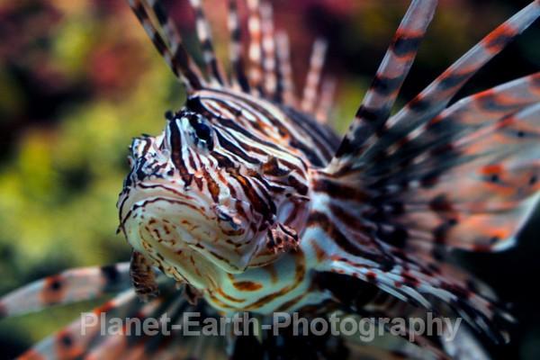 Lion Fish - Cuba