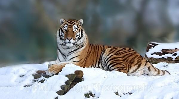 250 MAKARI - BIG CATS