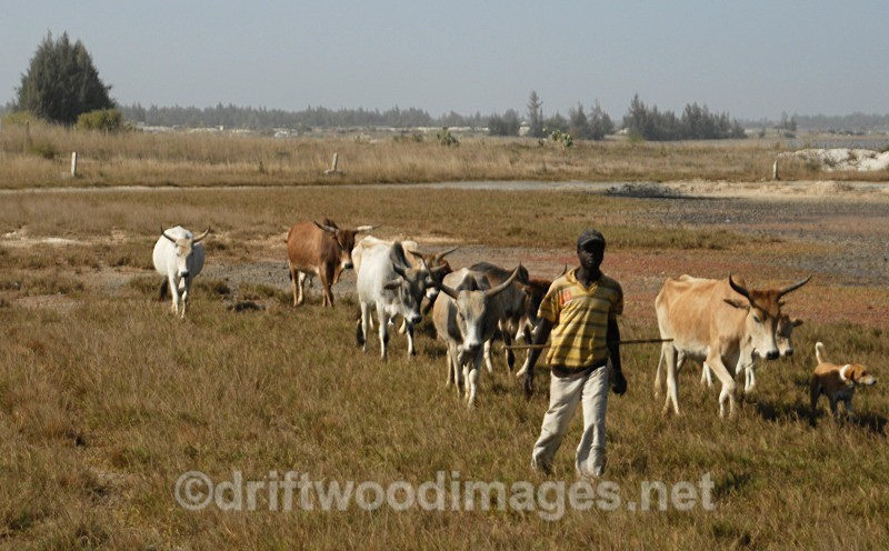 Senegal Fulani Village Fulani herdsman with cattle 2 - Senegal Fulani Village