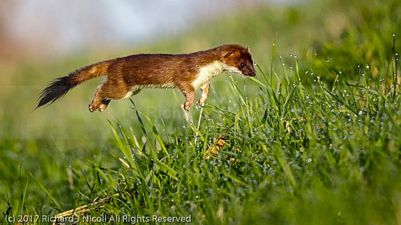 Stoat (Mustela erminea) hunting - Stoat (Mustela erminea)