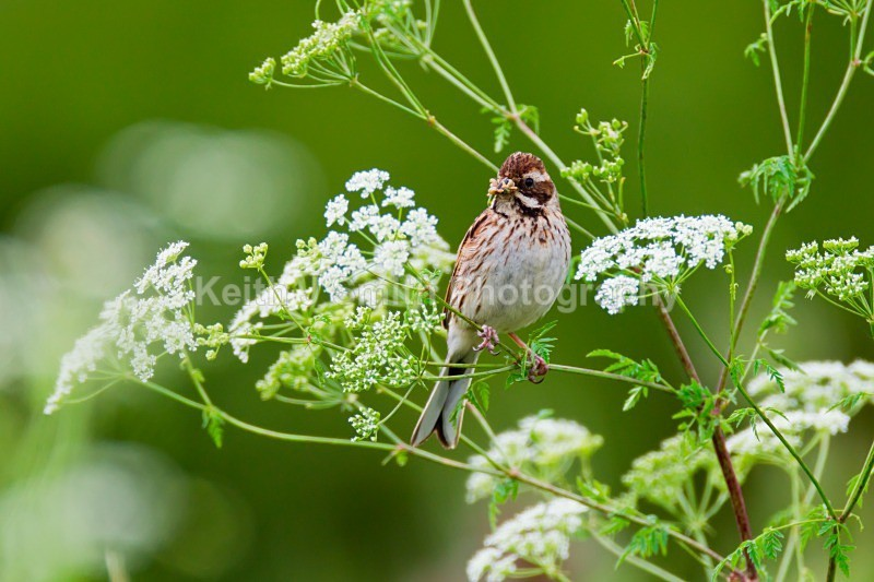 Reed Bunting.1KJS9124 (RM) - Reed Bunting.