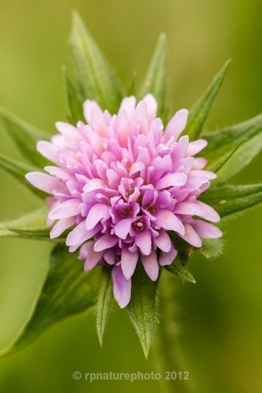 Field Scabious - Knautia arvensi  RPNP0704 - Flowers