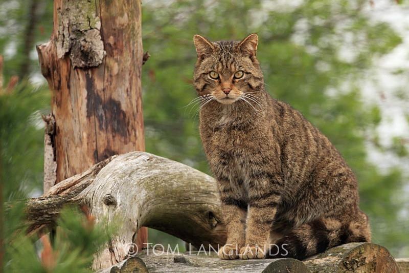 Scottish Wildcat - Scottish Wildcat