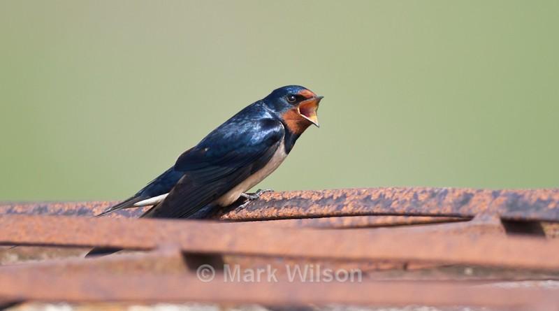 Swallow - Kerry Ridgeway - Hirundines