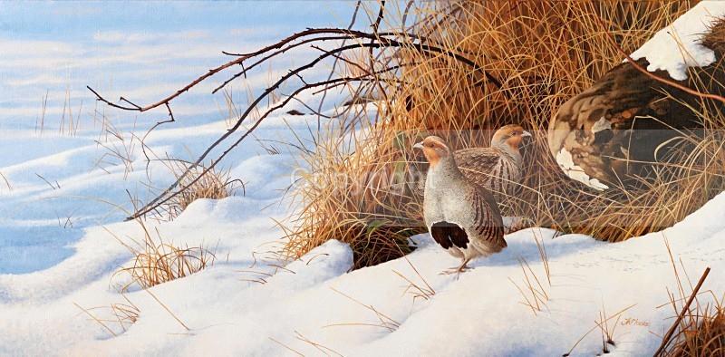 Winter partridge. - Birds