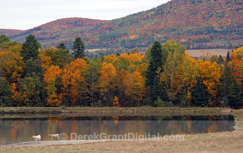 Cows Colors Reflections - Autumn New Brunswick Canada Fall Foliage - New Brunswick Autumn Foliage