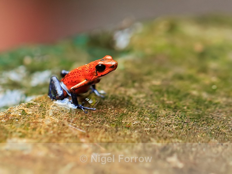 Strawberry Poison Frog, La Paz Waterfall Gardens, Costa Rica - REPTILES & AMPHIBIANS