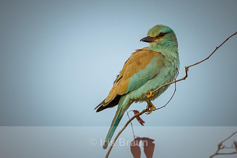 European Roller - Small Birds