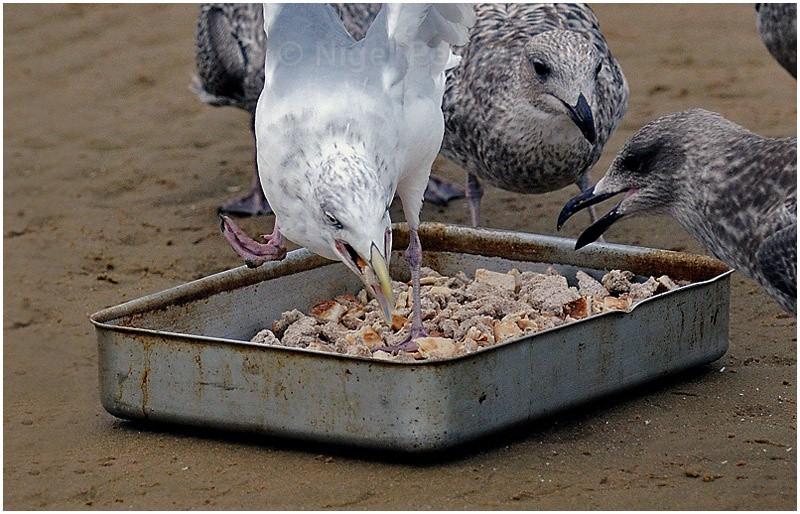 Feeding Time ( 1 ) - Leggy the Herring Gull