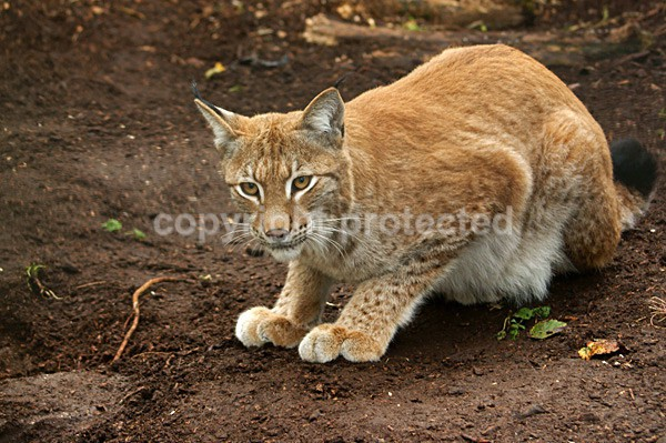 Lynx - Cat Survival Trust - Big and Small Wild Cats