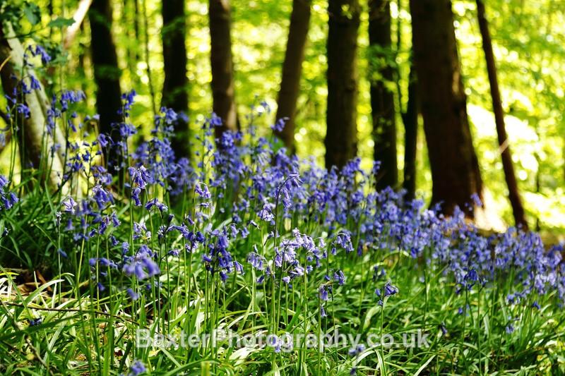 Bluebells At Nidd Gorge (ii) - Views Around Harrogate: