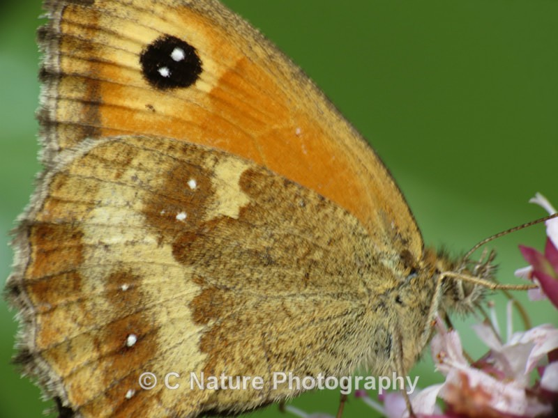 Gatekeeper Close Up - Insects & Creepy Crawlies
