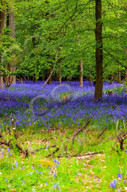 bluebell Hyacinthhoides non-scripta-6726 - Plants and trees