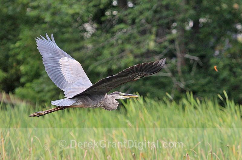 Ardea herodias - Birds of Atlantic Canada
