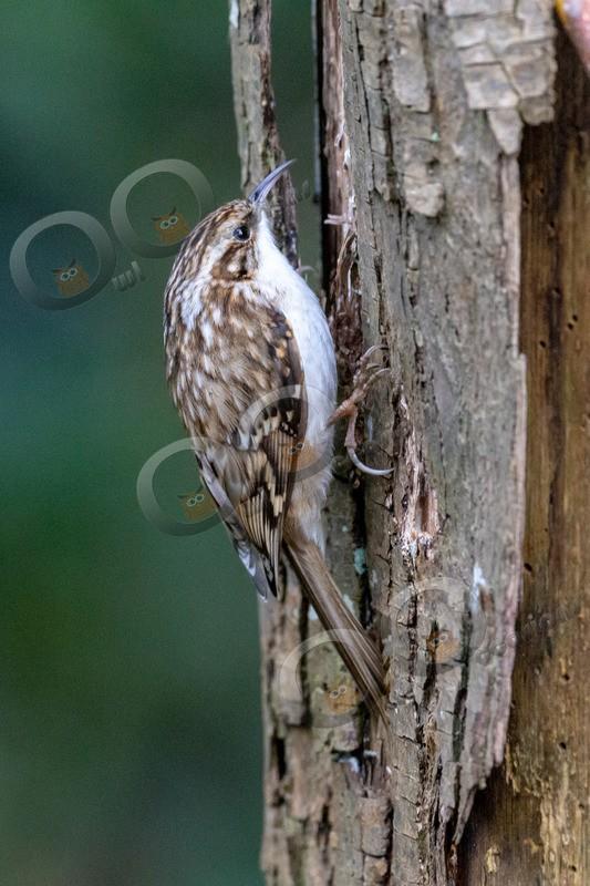 tree creeper Certhia familiaris-4996 - UK birds