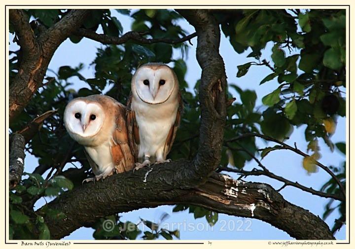 BO 009 - Barn Owls
