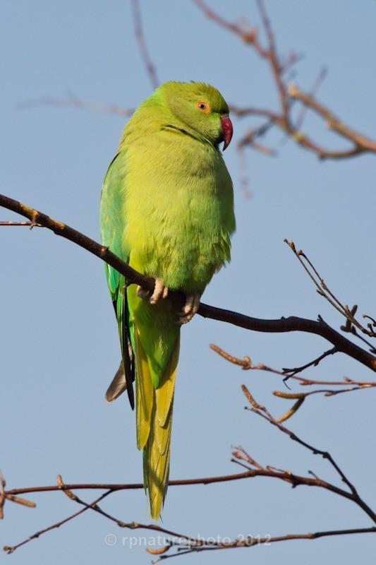 Ring-Necked Parakeet - Psittacula krameri RPNP0690 - Birds
